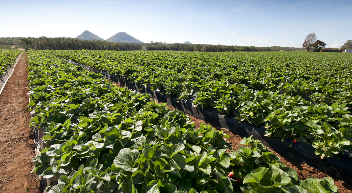 Strawberries grow in the open field at Pinata Farms, Wamuran