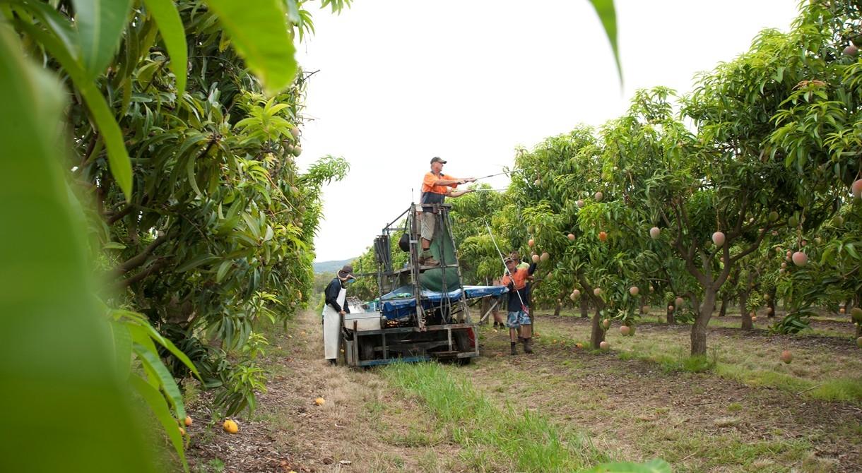 The Honey Gold mango harvest gets underway
