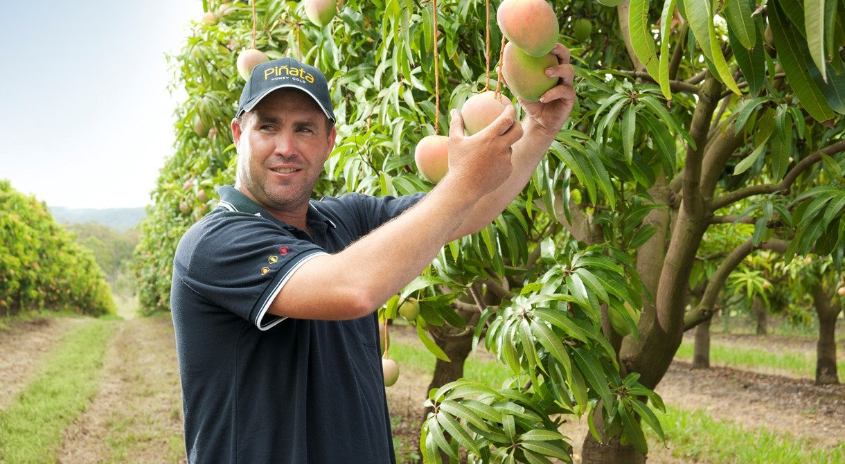 Mango production manager Lindsay Hewitt picks Honey Gold mangoes at Wamuran
