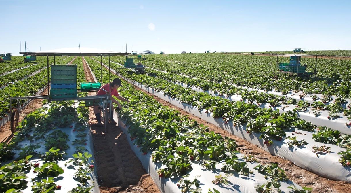 The winter strawberry harvest underway at Pinata Farms, Wamuran