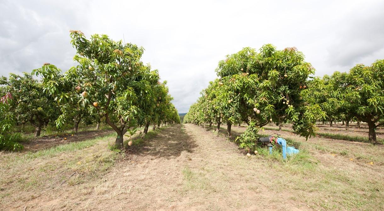 Honey Gold mangoes growing at PInata Farms, Mataranka