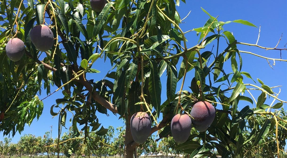 Princess mangoes under trial at Pinata Farms, Wamuran