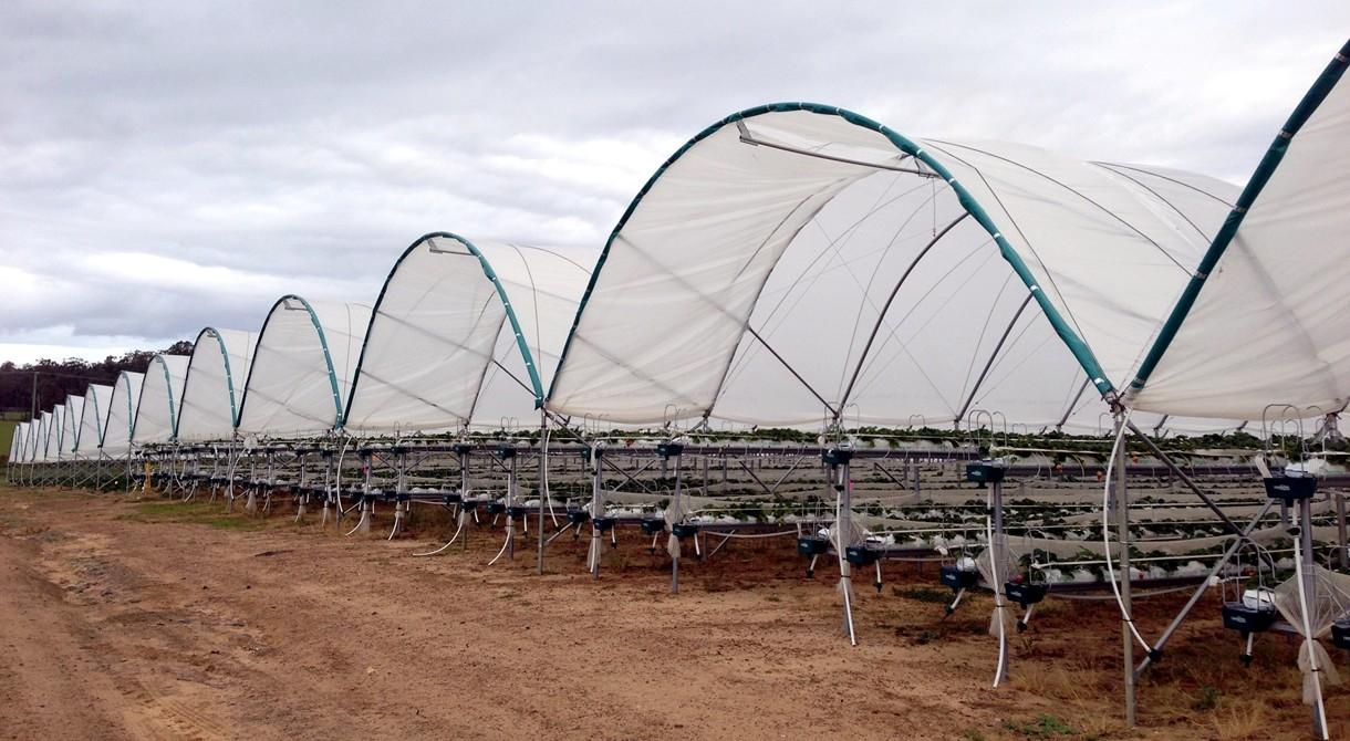 A polytunnel at Pinata Farms, Wamuran