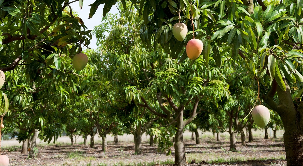 Honey Gold mango trees growing at Pinata Farms