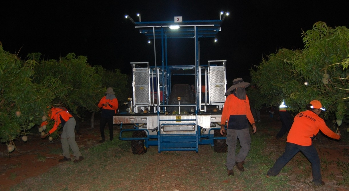 Honey Gold mangoes are picked at night at Pinata Farms, Katherine