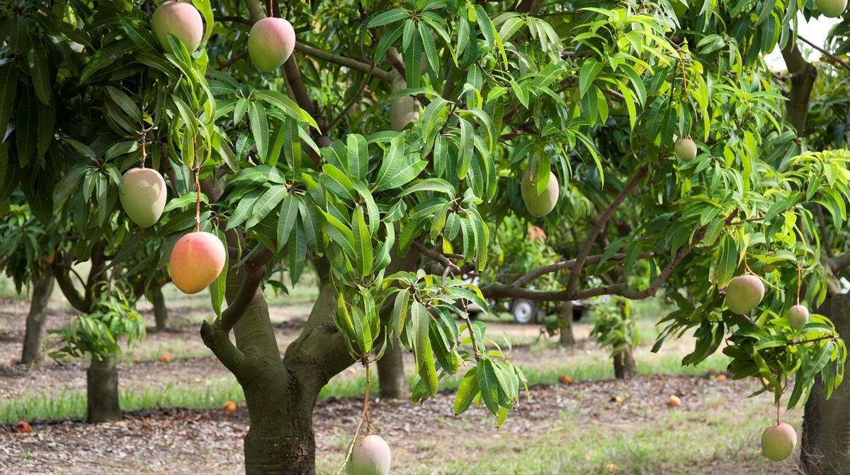 Honey Gold mangoes growing at Pinata Farms
