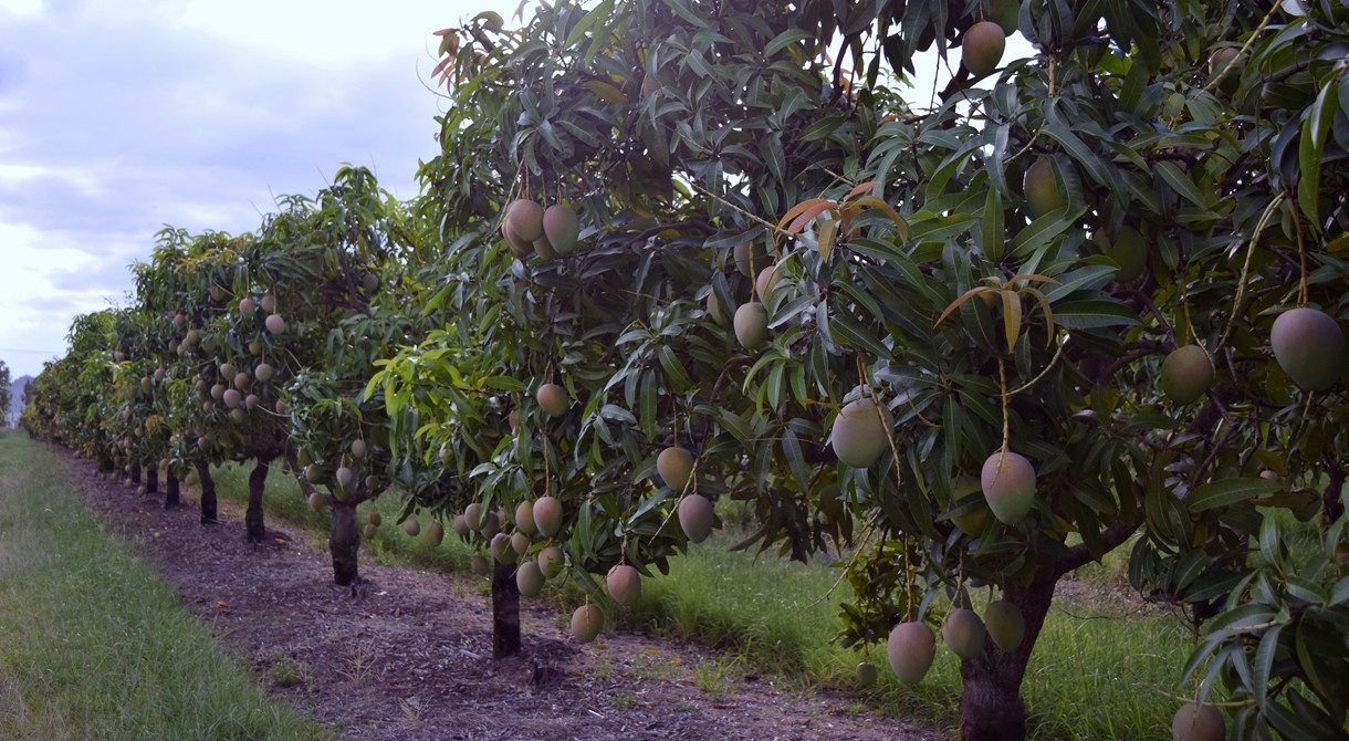 Honey Gold mango trees growing at Pinata Farms, Wamuran