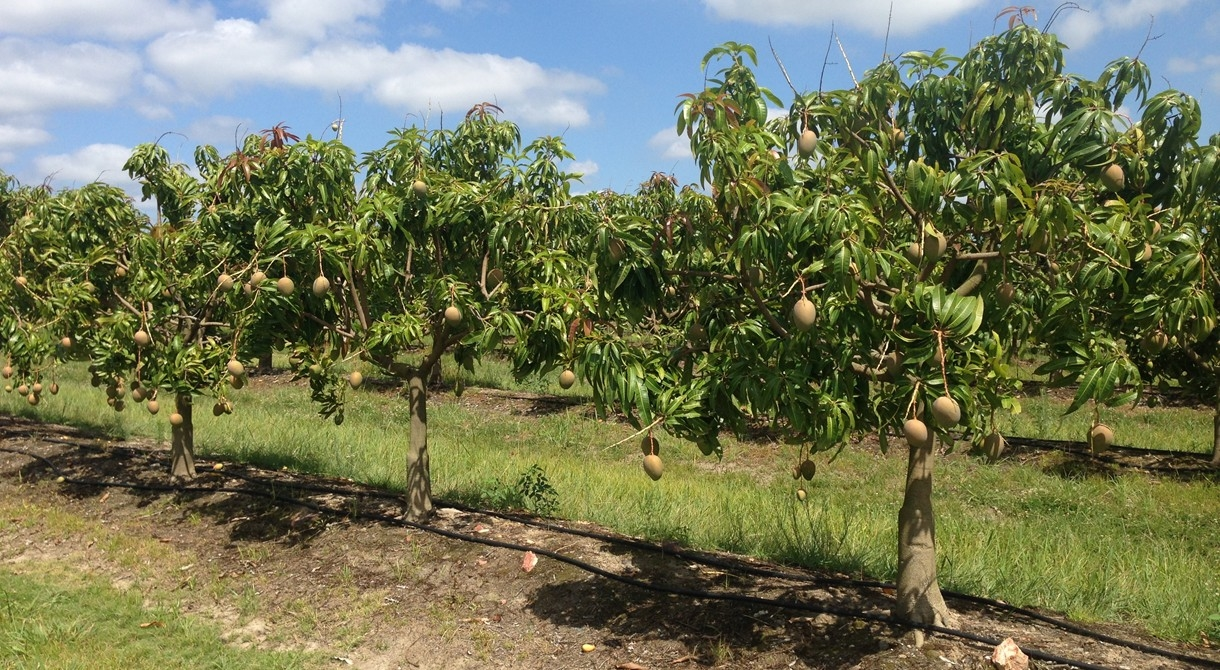 Honey Gold mangoes growing at Humpty Doo, near Darwin