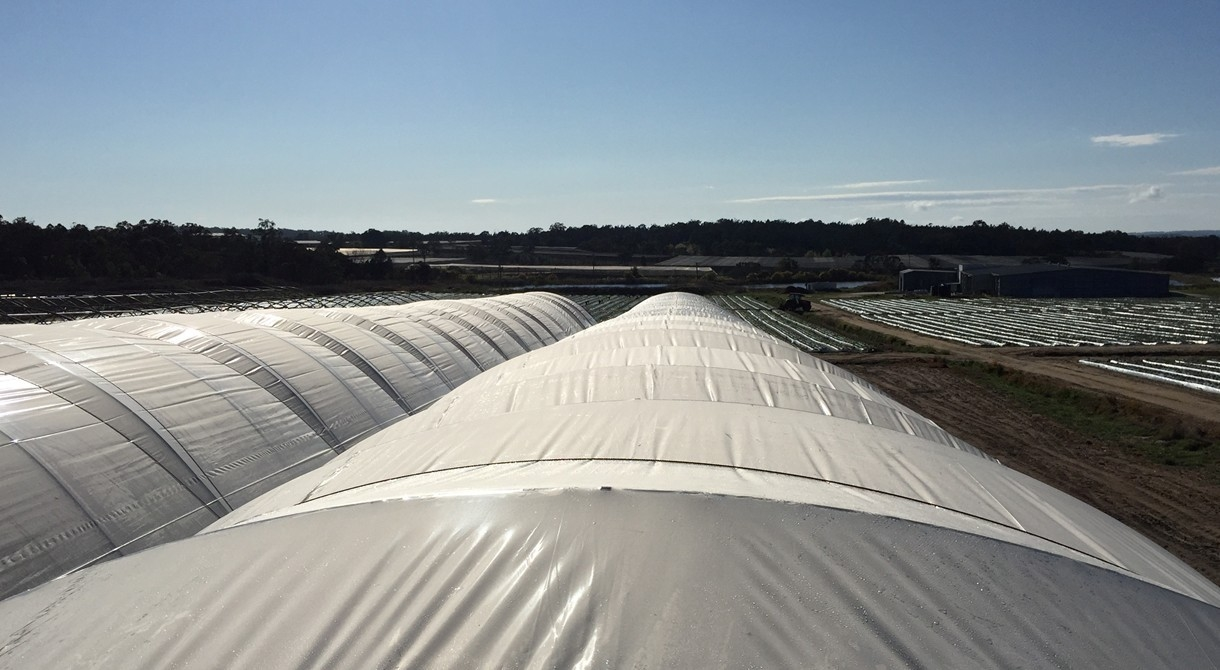 Polytunnels at Pinata Farms, Stanthorpe