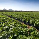 Fields of strawberries growing at Pinata Farms, Wamuran