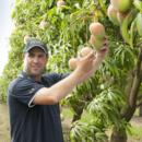 Mango production manager Lindsay Hewitt picks at Honey Gold mango at Wamuran