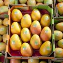 Trays of Honey Gold mangoes ready to go to market at Pinata Farms, Wamuran