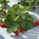 Fresh strawberries ready for harvest at Pinata Farms, Wamuran