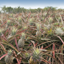 Fields of ripe pineapples ready for picking at Pinata Farms, Wamuran