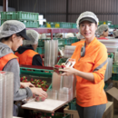 Packing strawberries at Piñata Farms' Wamuran packing shed on the Sunshine Coast, Queensland