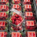 Trays of Pinata strawberries in punnets ready for market at the packing shed, Wamuran