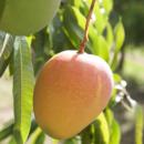 A ripe Honey Gold mango ready for picking at Pinata Farms, Wamuran