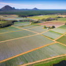 An aerial view of strawberries growing at Pinata Farms, Wamuran