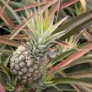 A ripe pineapple ready for picking at Pinata Farms, Wamuran
