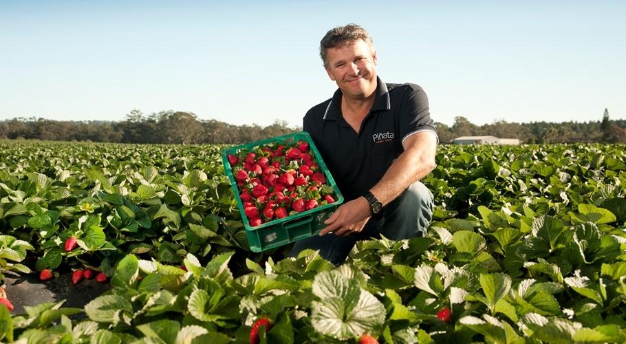 Sean Riley with strawberries at Pinata Farms, Wamuran