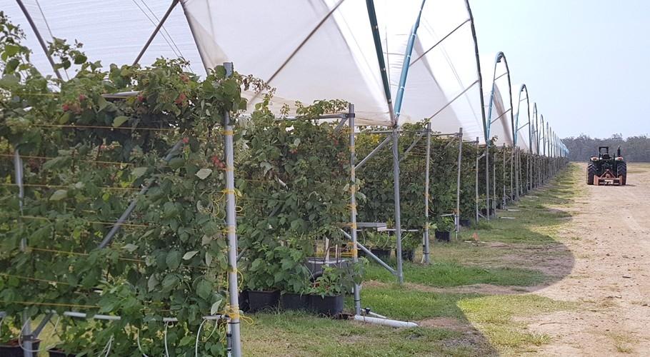 Growing raspberries at Wamuran
