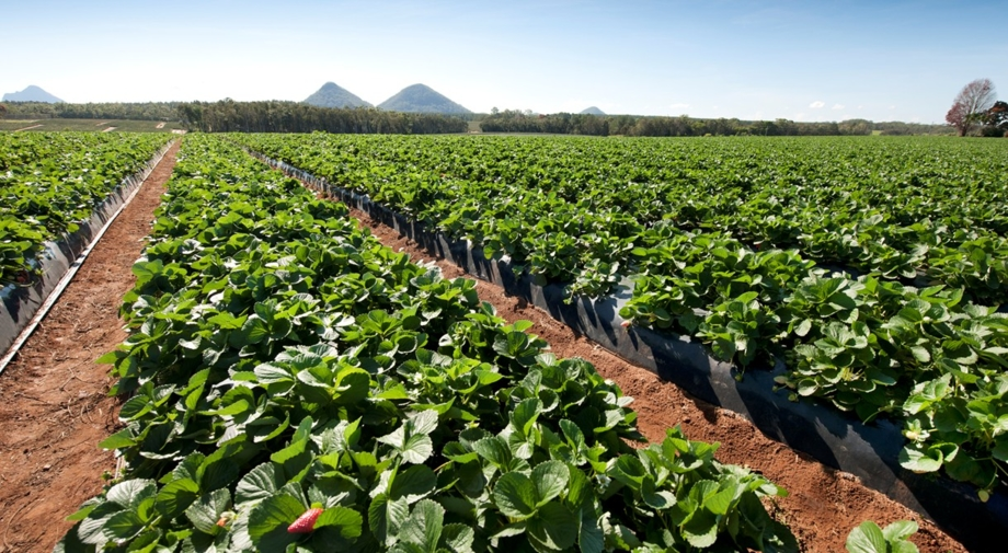 Strawberries growing at Pinata Farms, Wamuran