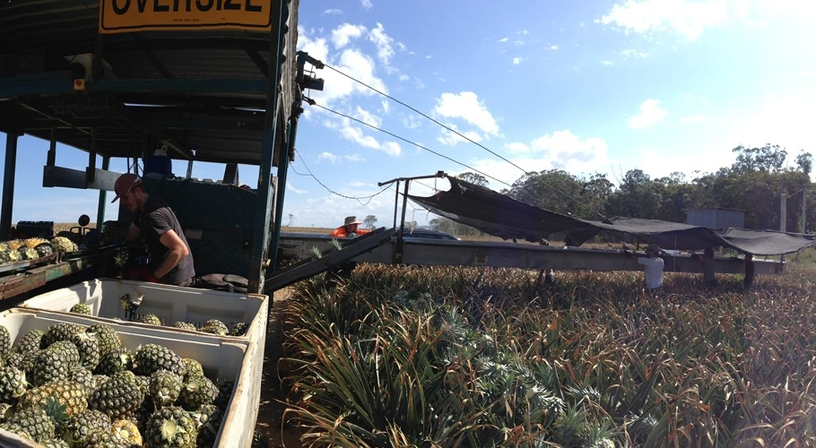 Pineapple pickers operate the harvester during picking season