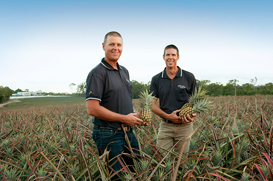 Gavin and Steven Scurr standing in a pineapple field on the Wamuran farm testing fresh pineapples